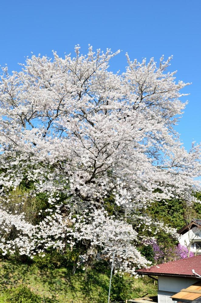 鳩山町のお施主さん宅の桜