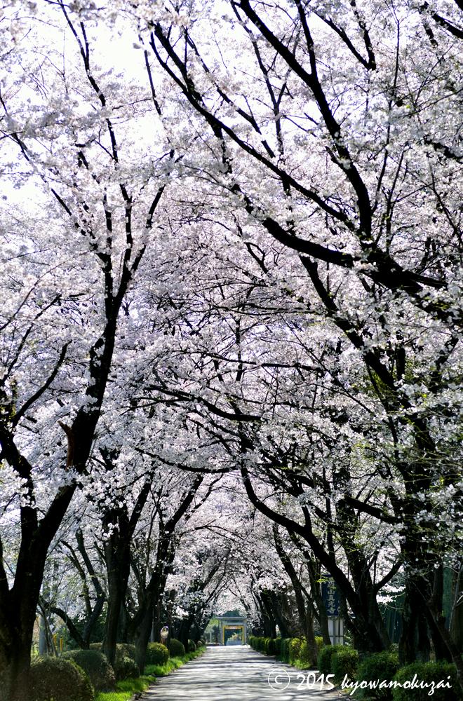 鳩山町大字大豆戸 三嶋神社の桜
