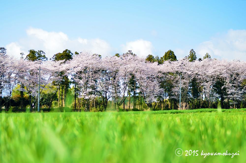 鳩山町大字大豆戸 三嶋神社の桜並木