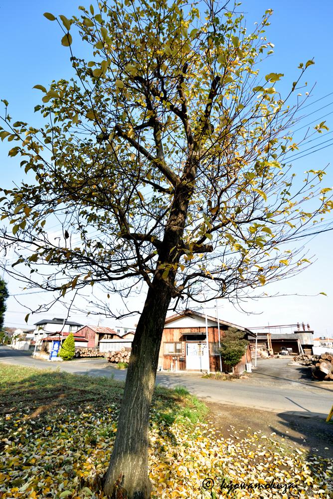 事務所前 ミズキ(ミズフサ)の木